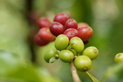 Coffee Sector in Indonesia, Coffee Industry Production | GBG
